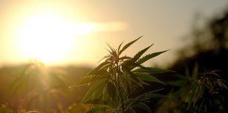 Cannabis / Pixabay